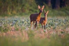 Capreoluscapreolus, Roe Deers die op het landbouwgebied lopen Stock Foto
