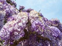 capri意大利 美丽的开花的紫罗兰色紫藤花 库存图片