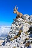 Capricórnio que descansa na rocha Fotos de Stock