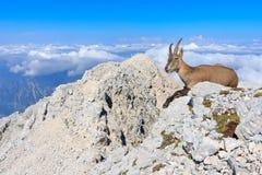 Capricórnio que descansa na rocha Fotografia de Stock Royalty Free