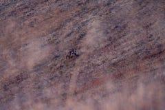 Capricórnio selvagem nos cumes suíços O tiro afortunado foi tomado durante o por do sol perto de interlaken fotos de stock