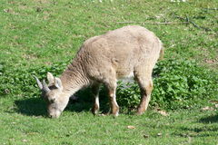 Capricorn. A young female Capricorn when eating Royalty Free Stock Photo