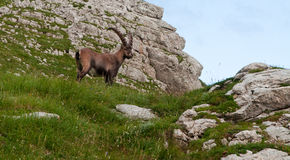 Capricorn. Old capricorn standing in the mountains Royalty Free Stock Photography