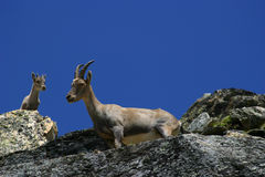 Capricorn. In the Alps, Italy Royalty Free Stock Photography