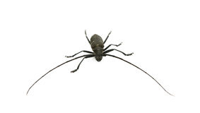 Capricorn beetle. The fur-tree capricorn beetle with very long moustaches close up Stock Photo