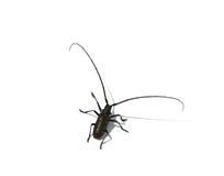 Capricorn beetle Stock Image
