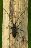 Capricorn beetle. The fur-tree capricorn beetle with very long moustaches close up Stock Images