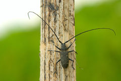 Capricorn beetle. The fur-tree capricorn beetle with very long moustaches close up Royalty Free Stock Image