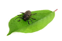 Capricorn beetle. On a green leaf Royalty Free Stock Photo