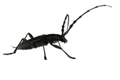 Capricorn beetle. Isolated on white background Stock Images