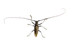 Capricorn beetle. Isolated on white Stock Photos