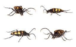 Capricorn beetle (Anastrangalia quadrifasciata) Stock Images