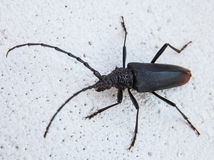 Capricorn beetle. Black capricorn beetle - closeup shot Stock Photography