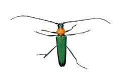 Capricorn beetle (Cerambycidae) 1. A close up of the Capricorn beetle (Cerambycidae). Isolated on white Royalty Free Stock Photos
