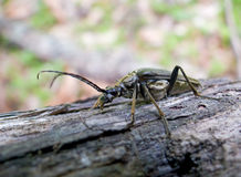Capricorn Beetle (Cerambycidae) 4. A close-up of a capricorn beetle with long antennas on a tree. Russian Far East, Primorye Royalty Free Stock Photo