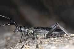 Capricorn beetle (Cerambyx scopolii) Stock Image