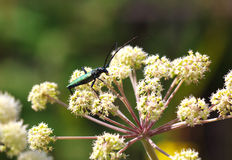 Capricorn beetle (Cerambyx scopolii) on flower. Macro photo. Capricorn beetle (Cerambyx scopolii) Macro photo Royalty Free Stock Photo