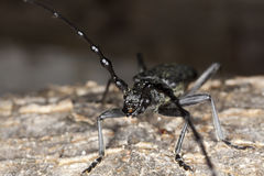 Capricorn beetle (Cerambyx scopolii) Macro photo. Stock Images