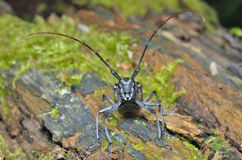 Capricorn beetle 2 Stock Image
