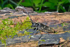 Capricorn beetle 5. A close up of the Capricorn beetle on old log Royalty Free Stock Photography
