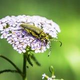 The Capricorn beetle green (lat. Lepturobosca virens) Royalty Free Stock Photography