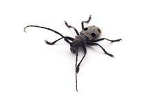 Capricorn beetle isolated. On white Stock Images