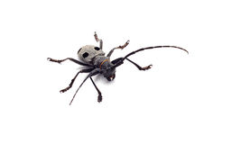 Capricorn beetle isolated Royalty Free Stock Image