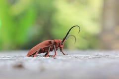 Capricorn beetle Royalty Free Stock Image