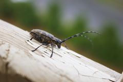 Capricorn beetle Royalty Free Stock Images