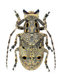 Capricorn beetle Mesosa curculionoides Stock Photos