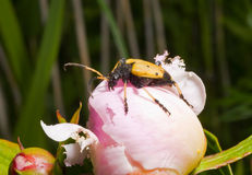Capricorn beetle on peony 2. A close up of the Capricorn beetle on flower of peony Stock Images