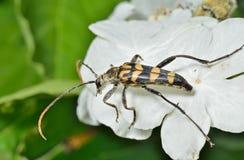 Capricorn beetle (Strangalla arenata). A close up of the Capricorn beetle (Strangalla arenata) on leaf Stock Photos