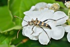 Capricorn beetle (Strangalla arenata) 1. A close up of the Capricorn beetle (Strangalla arenata) on leaf Royalty Free Stock Photos