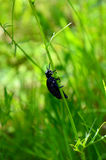 The Capricorn beetle - Tanner or lumberjack - Tanner or prion ordinary hanging on a thin stalk of grass Latin. Prionus coriarius Royalty Free Stock Photography