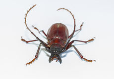 Capricorn beetle on  white background Stock Images