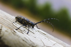 Capricorn beetle Stock Photography