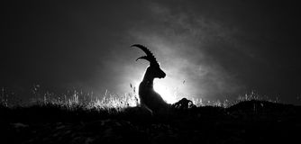 Capricorn black and white Royalty Free Stock Images