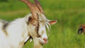Capricorn, Goat,  Muzzle, Eyes, White, Mammal, Horns, Farm stock video footage