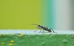 Capricorn grey beetle Stock Photo