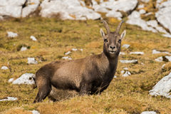 Capricorn in the Julian Alps Stock Images