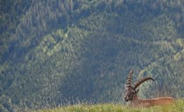 A capricorn on a meadow in the alps stock images