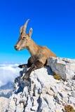 Capricorn resting on rock. Alpine Ibex female lying on rocks on the Montagio (Montaž) mountain, Italy Stock Photos