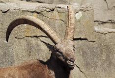 capricorn or rock goat Royalty Free Stock Photography