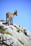 Capricorn is standing on the rock Stock Image