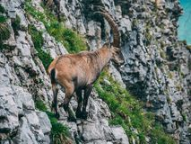 Capricorn Steinbock Capra ibex standing on a steep mountain stone cliff sideview with big horns. Brienzer rothorn switzerland Royalty Free Stock Image