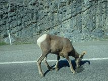 A capricorn on the street. In canada outside the city stock photography