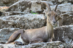 Capricorn. In the zoo hellabrunn salzburg royalty free stock photography