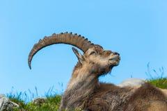 Capricorne alpin masculin naturel menteur de bouquetin de vue de côté, ciel bleu, je photo stock