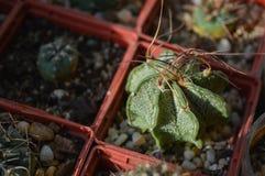 Capricorne conservato in vaso di astrophytum del cactus Immagine Stock Libera da Diritti