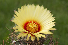 Capricorne de Astrophytum. Fotografia de Stock Royalty Free